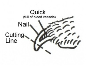 Dog Nail Diagram