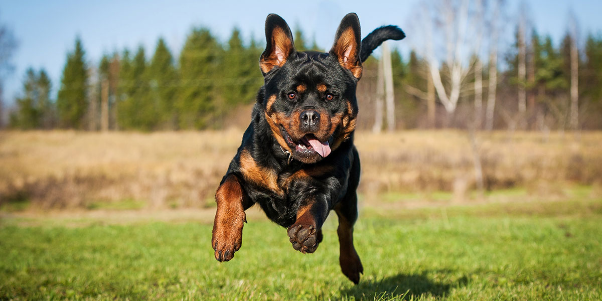 What Is Canine Cranial Cruciate Rupture
