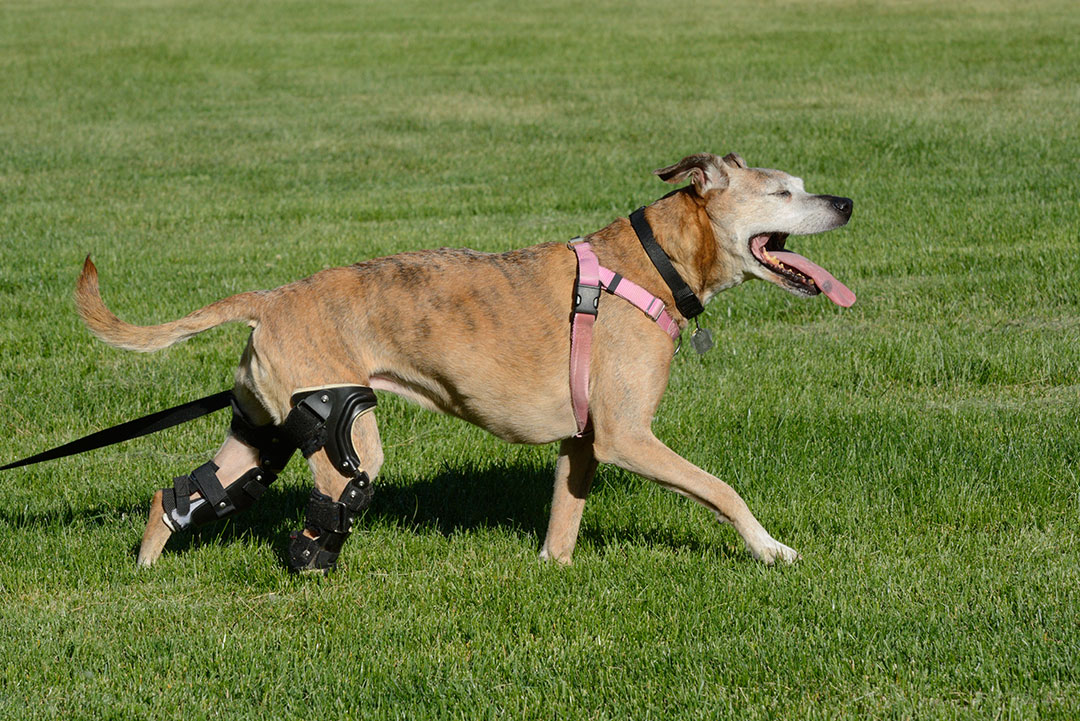 When Is Surgery Needed for a Cruciate Tear in a Dog?